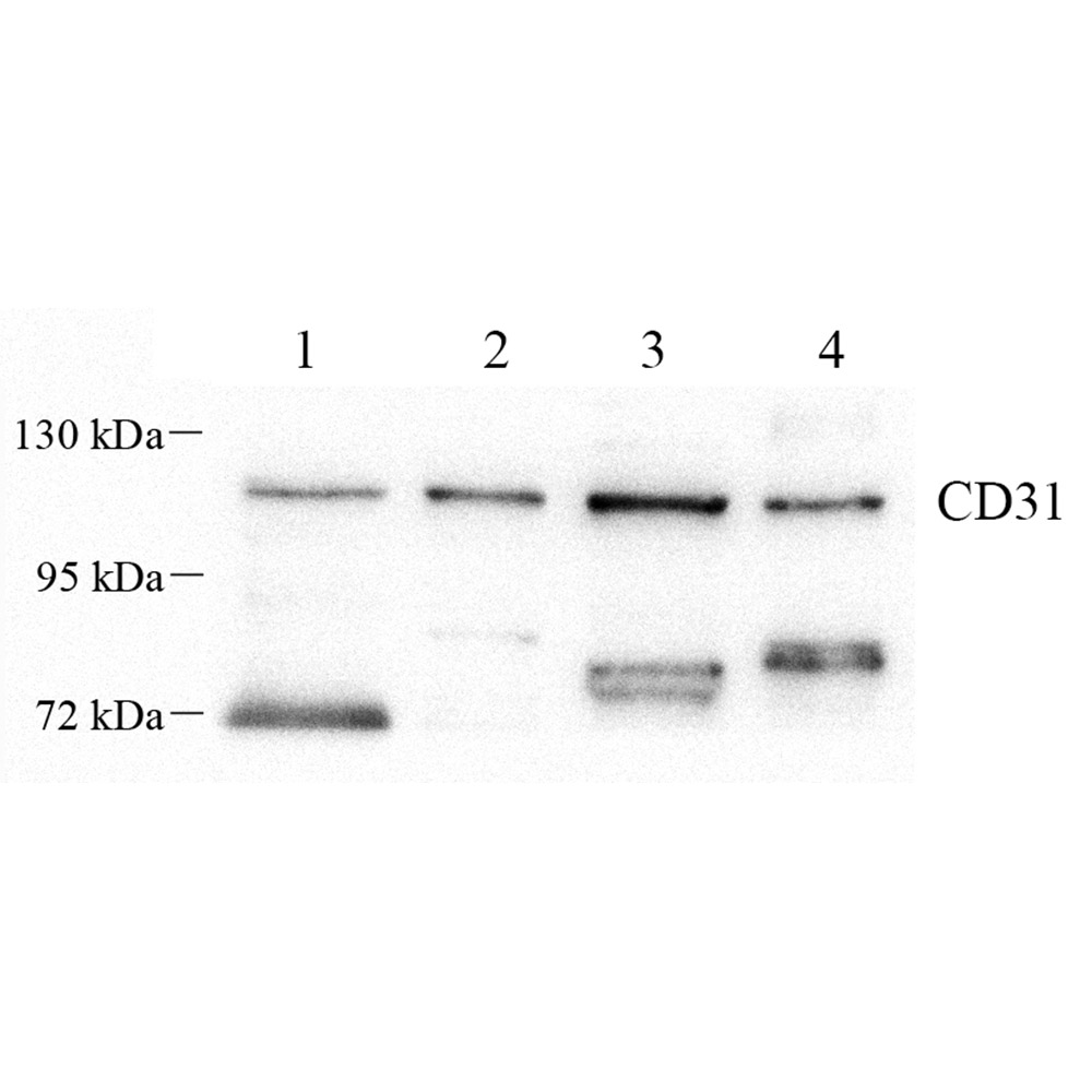 Anti -CD31 Mouse mAb