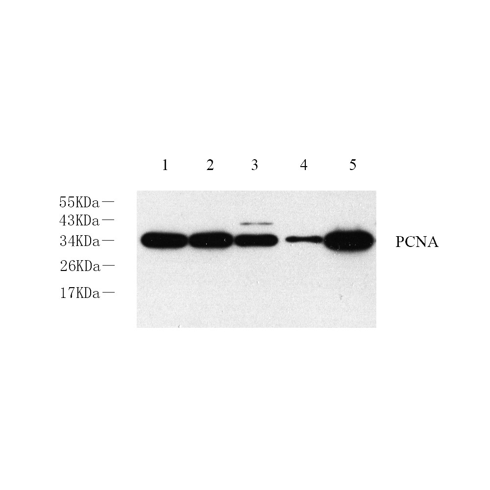 Anti -PCNA Rabbit pAb