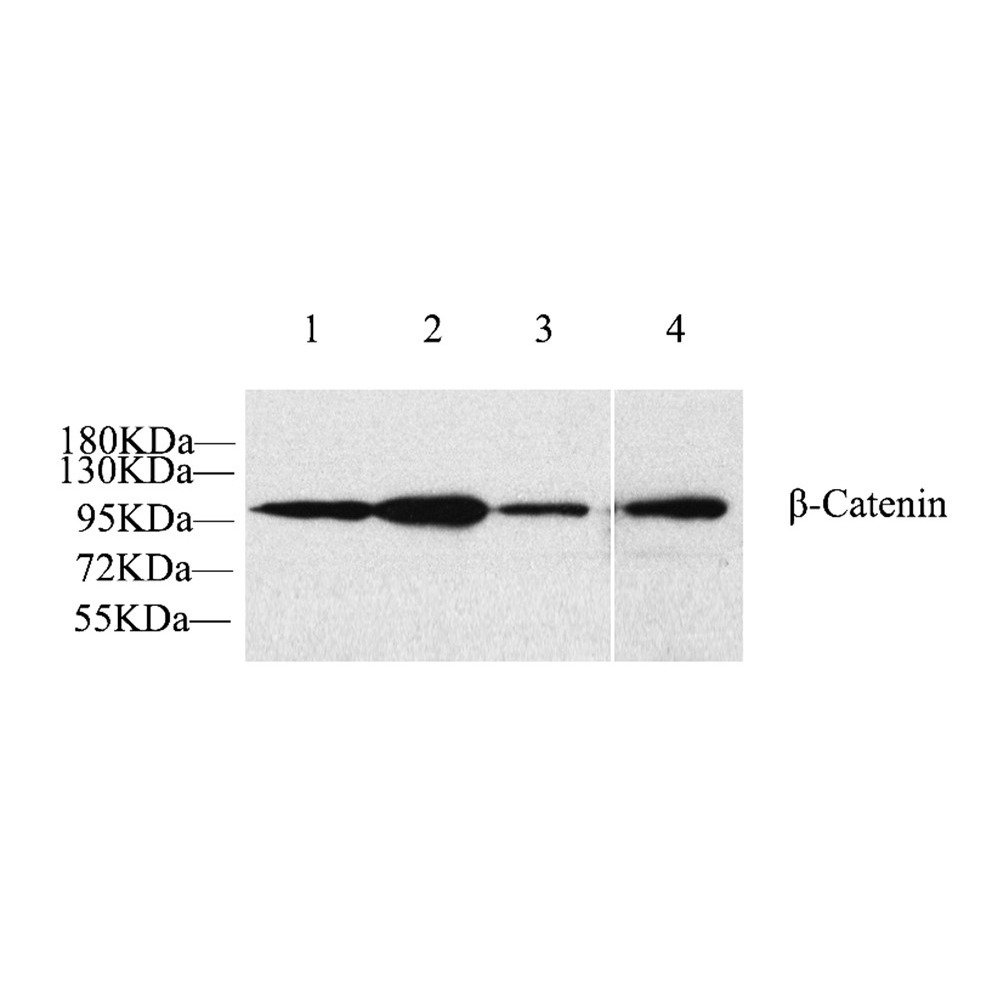 Anti -beta Catenin Rabbit pAb