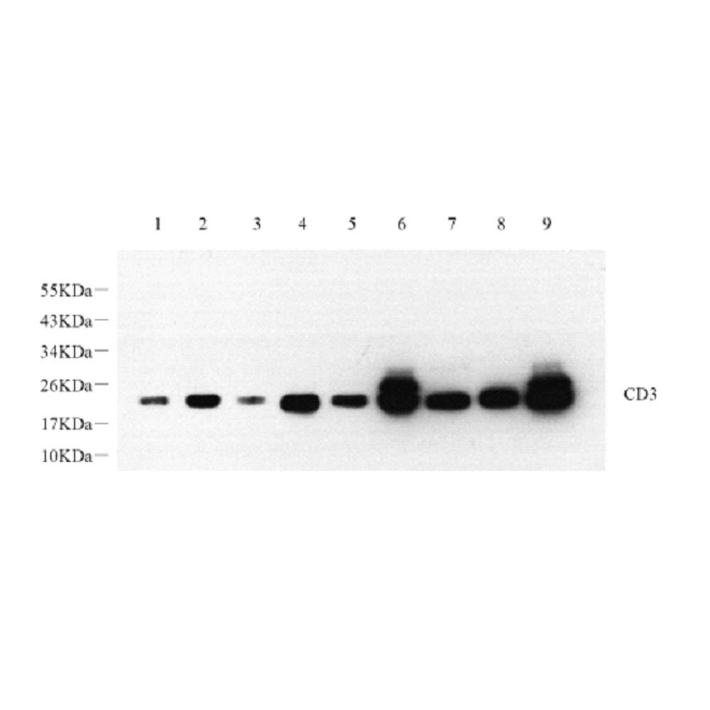 Anti -CD3 Rabbit pAb