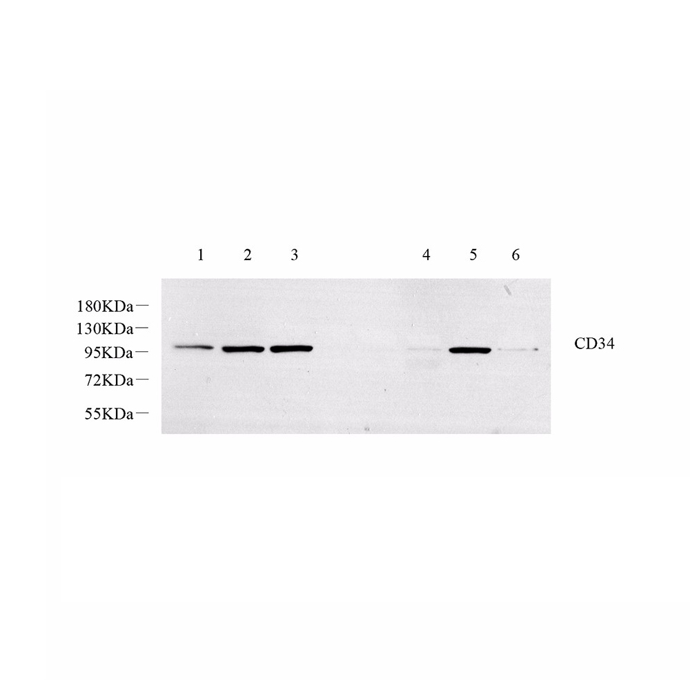 Anti -CD34 Rabbit pAb