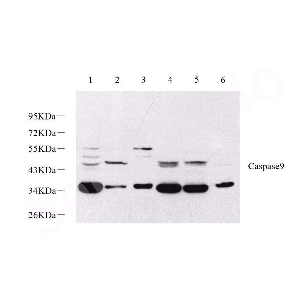 Anti -Caspase-9 Rabbit pAb
