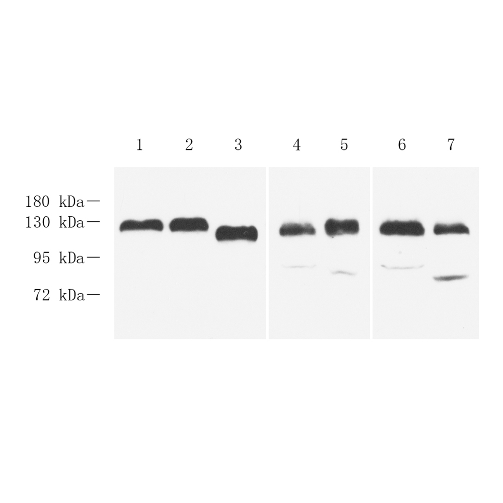 Anti -Integrin beta 1 Rabbit pAb